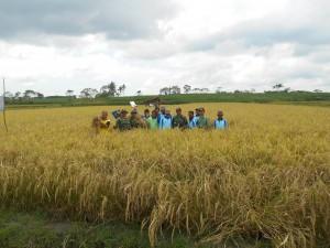 2.Organic rice harvest, Purwokencono
